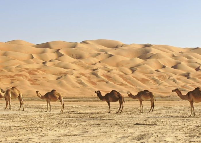 Empty Quarter Camels in Oman